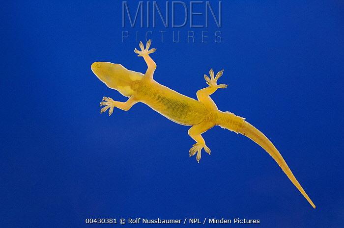 Indo-pacific Gecko (Hemidactylus garnotii) on glass showing underside, Costa Rica  -  Rolf Nussbaumer/ npl