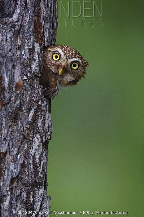 Ferruginous Pygmy Owl (Glaucidium brasilianum) peering out of nest hole, Rio Grande Valley, Texas  -  Rolf Nussbaumer/ npl