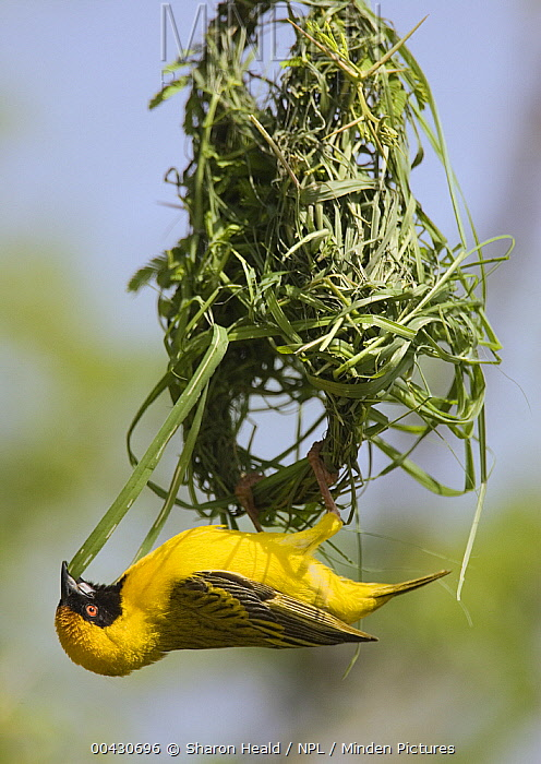 Masked-Weaver (Ploceus velatus) male in early stage of building nest, Etosha National Park, Namibia  -  Sharon Heald/ npl