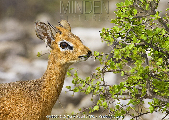 Kirk's Dik-dik (Madoqua kirkii) male browsing on leaves, Etosha National Park, Namibia  -  Tony Heald/ npl