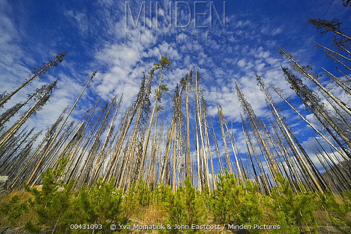 Saplings amidst coniferous trees burned by forest fire, Yellowstone National Park, Wyoming  -  Yva Momatiuk & John Eastcott