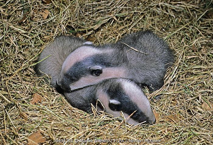 Eurasian Badger (Meles meles) four week old cubs, England  -  Martin Withers/ FLPA