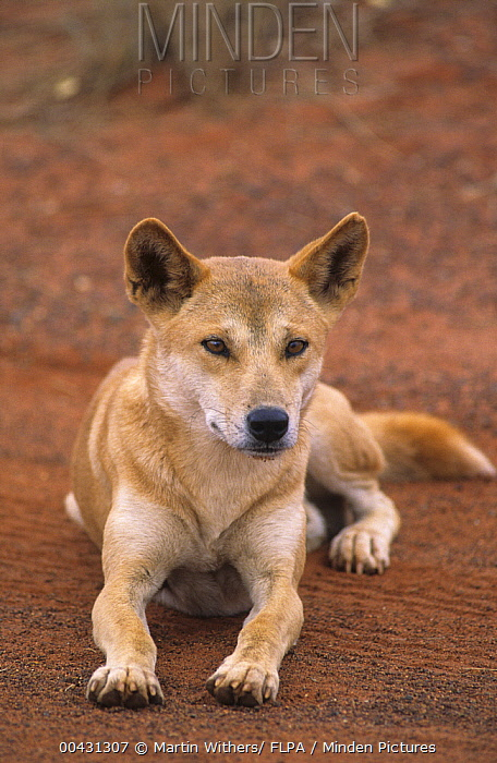Dingo (Canis lupus dingo), Uluru-kata Tjuta National Park, Australia  -  Martin Withers/ FLPA