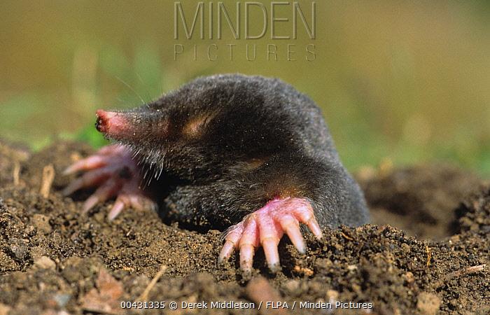 European Mole (Talpa europaea) emerging from molehill, Europe  -  Derek Middleton/ FLPA