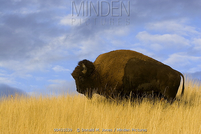 American Bison (Bison bison) bull in dry grass, western Montana  -  Donald M. Jones