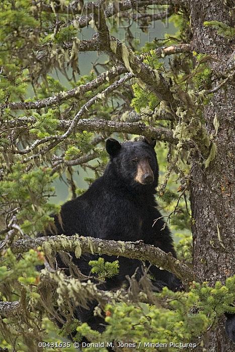 Black Bear (Ursus americanus) male in Douglas Fir (Pseudotsuga menziesii), western Alberta, Canada  -  Donald M. Jones