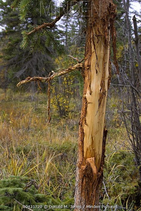 American Elk (Cervus elaphus nelsoni) rubs from bull on spruce tree, western Montana  -  Donald M. Jones