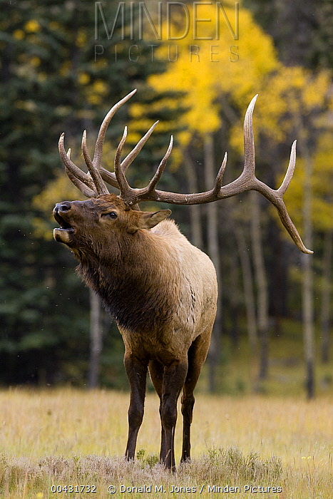 American Elk (Cervus elaphus nelsoni) bull bugling, western Montana  -  Donald M. Jones
