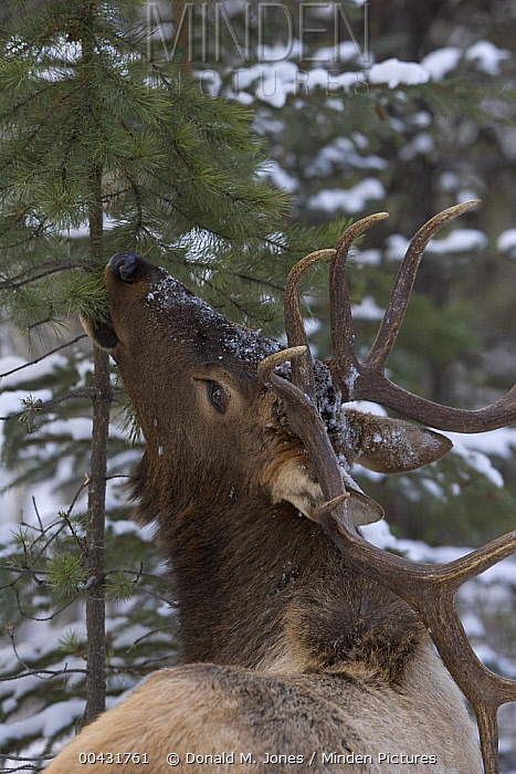 American Elk (Cervus elaphus nelsoni) bull feeding on Douglas Fir (Pseudotsuga menziesii), western Montana  -  Donald M. Jones