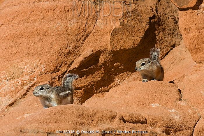 White-tailed Antelope Squirrel (Ammospermophilus leucurus) pair in red rocks, southern Nevada  -  Donald M. Jones