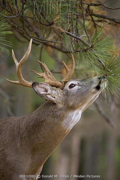 White-tailed Deer (Odocoileus virginianus) buck at scrape, western Montana  -  Donald M. Jones