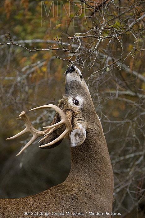 White-tailed Deer (Odocoileus virginianus) buck smelling scrape, western Montana  -  Donald M. Jones