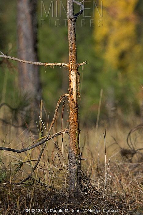 White-tailed Deer (Odocoileus virginianus) rub on tree from buck, western Montana  -  Donald M. Jones