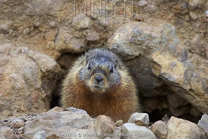 Yellow-bellied Marmot (Marmota flaviventris) at burrow entrance, western Wyoming  -  Donald M. Jones