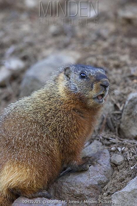 Yellow-bellied Marmot (Marmota flaviventris) calling, western Wyoming  -  Donald M. Jones