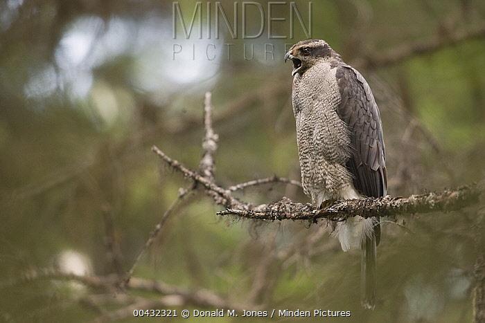 Northern Goshawk (Accipiter gentilis) female calling, western Montana  -  Donald M. Jones