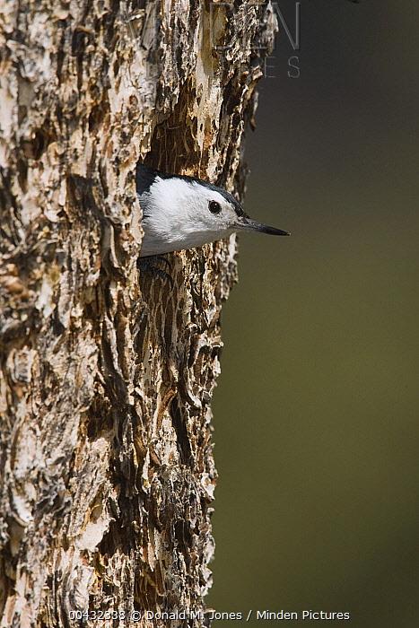 White-breasted Nuthatch (Sitta carolinensis) peeking out of nesting cavity, western Montana  -  Donald M. Jones