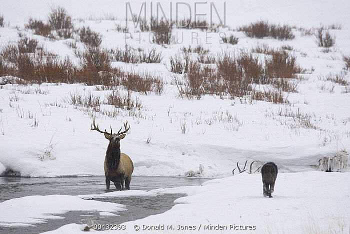 Timber Wolf (Canis lupus) keeping American Elk (Cervus elaphus nelsoni) in river, Yellowstone National Park, Wyoming  -  Donald M. Jones