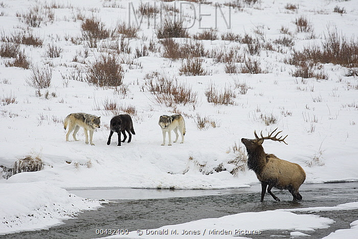 Timber Wolf (Canis lupus) group keeping American Elk (Cervus elaphus nelsoni) in river, Yellowstone National Park, Wyoming  -  Donald M. Jones