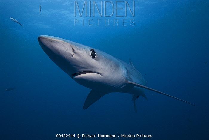 Blue Shark (Prionace glauca), San Diego, California  -  Richard Herrmann