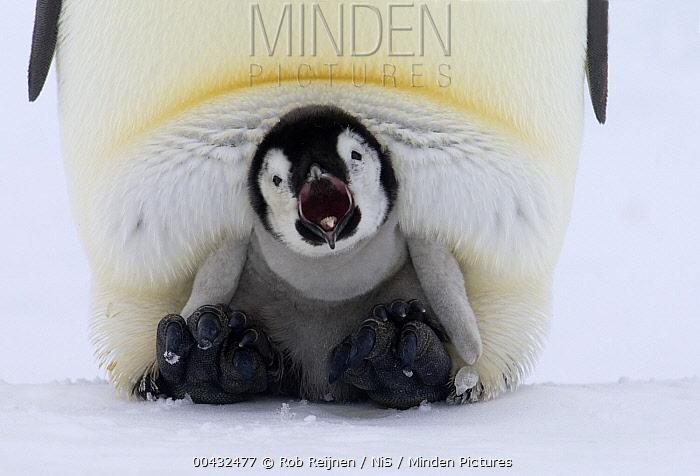 Emperor Penguin (Aptenodytes forsteri) chick on the feet of an adult calling, Antarctica  -  Rob Reijnen / NiS