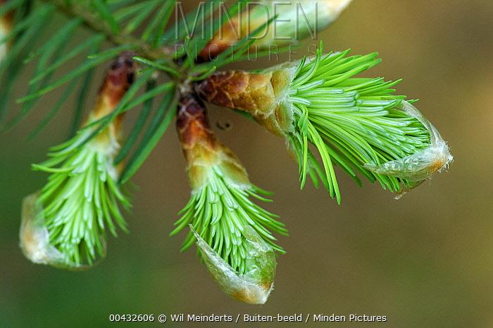Douglas Fir (Pseudotsuga menziesii) needles emerging from buds, Netherlands  -  Wil Meinderts/ Buiten-beeld