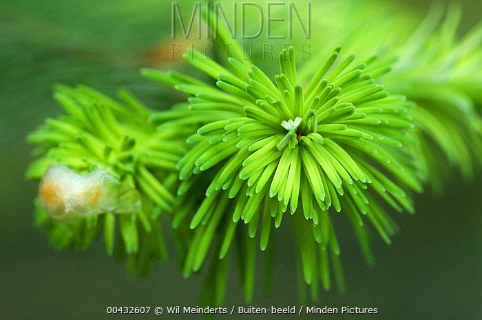 Douglas Fir (Pseudotsuga menziesii) needles, Netherlands  -  Wil Meinderts/ Buiten-beeld
