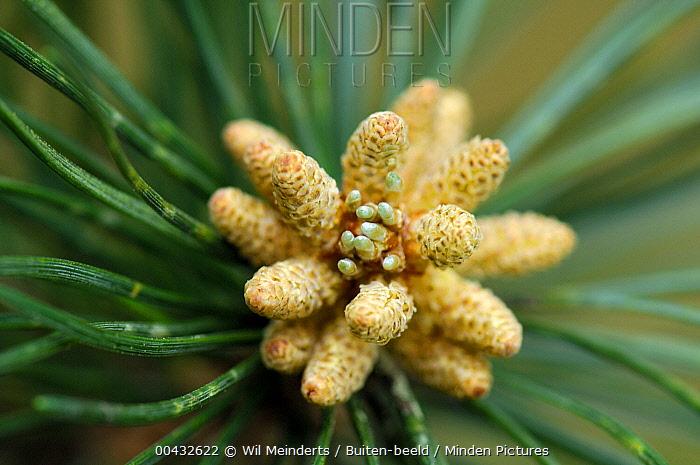 Mountain Pine (Pinus mugo) male cones, Netherlands  -  Wil Meinderts/ Buiten-beeld