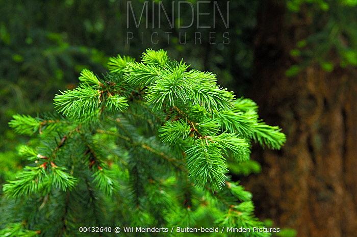 Douglas Fir (Pseudotsuga menziesii) branch, Netherlands  -  Wil Meinderts/ Buiten-beeld