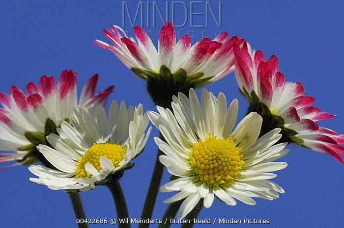 Common Daisy (Bellis perennis) flowers, Netherlands  -  Wil Meinderts/ Buiten-beeld