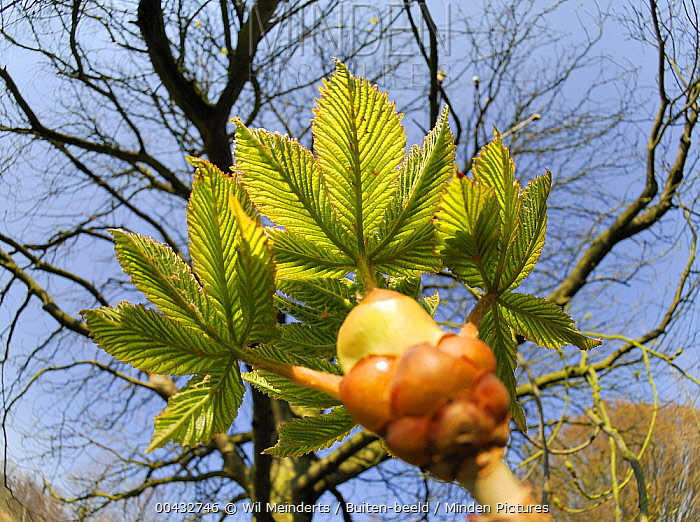 Horse Chestnut (Aesculus hippocastanum) sapling and mature tree, Netherlands  -  Wil Meinderts/ Buiten-beeld