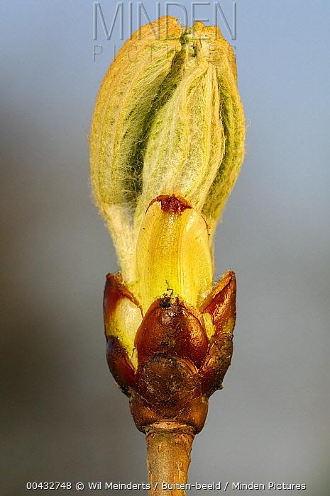 Horse Chestnut (Aesculus hippocastanum) budding, Netherlands  -  Wil Meinderts/ Buiten-beeld