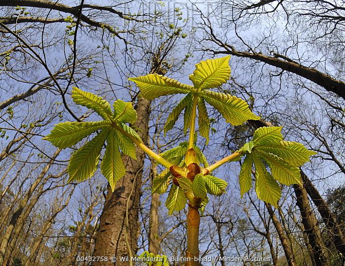 Horse Chestnut (Aesculus hippocastanum) sapling, Netherlands  -  Wil Meinderts/ Buiten-beeld