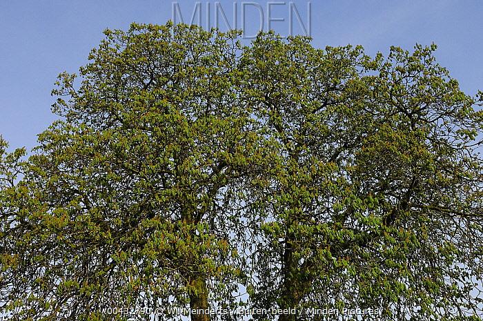 Horse Chestnut (Aesculus hippocastanum) trees, Netherlands  -  Wil Meinderts/ Buiten-beeld