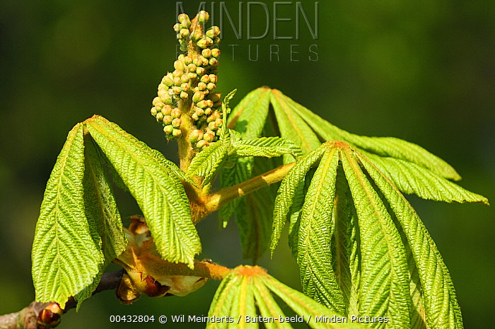 Horse Chestnut (Aesculus hippocastanum) leaves and flower panicle, Netherlands  -  Wil Meinderts/ Buiten-beeld