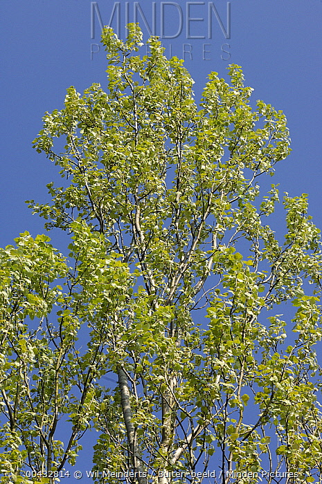 Silver-leaf Poplar (Populus alba) tree, Netherlands  -  Wil Meinderts/ Buiten-beeld
