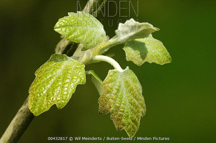 Silver-leaf Poplar (Populus alba) leaves, Netherlands  -  Wil Meinderts/ Buiten-beeld