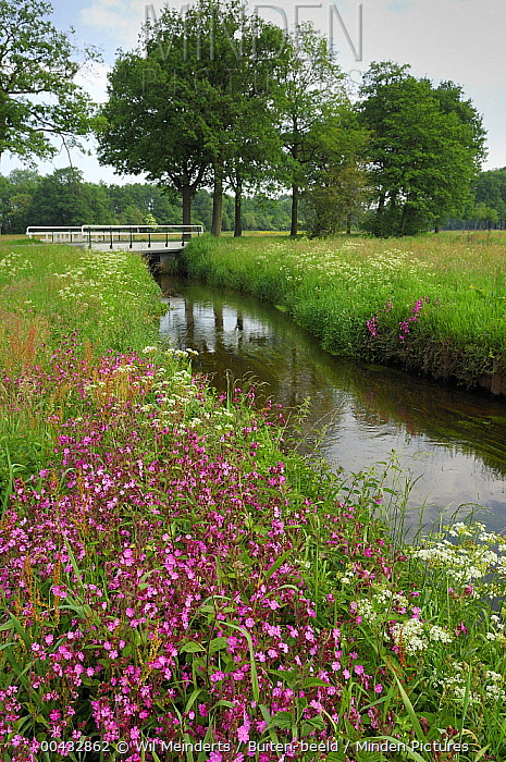 Red Campion (Silene dioica) in bloom along canal, Drenthe, Netherlands  -  Wil Meinderts/ Buiten-beeld