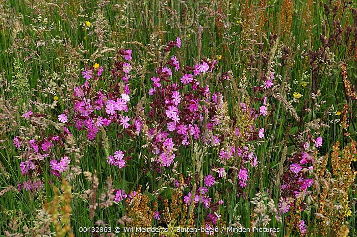 Red Campion (Silene dioica) in bloom, Drenthe, Netherlands  -  Wil Meinderts/ Buiten-beeld