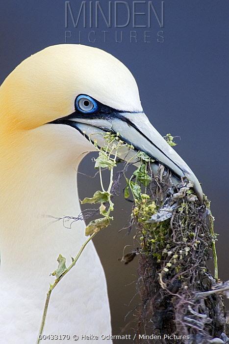 Northern Gannet (Morus bassanus) with nest material in its bill, Helgoland, Germany  -  Heike Odermatt
