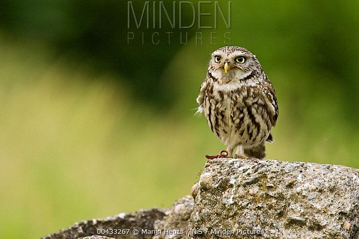 Little Owl (Athene noctua) with earthworm as prey, Valkenswaard, Netherlands  -  Marijn Heuts/ NiS