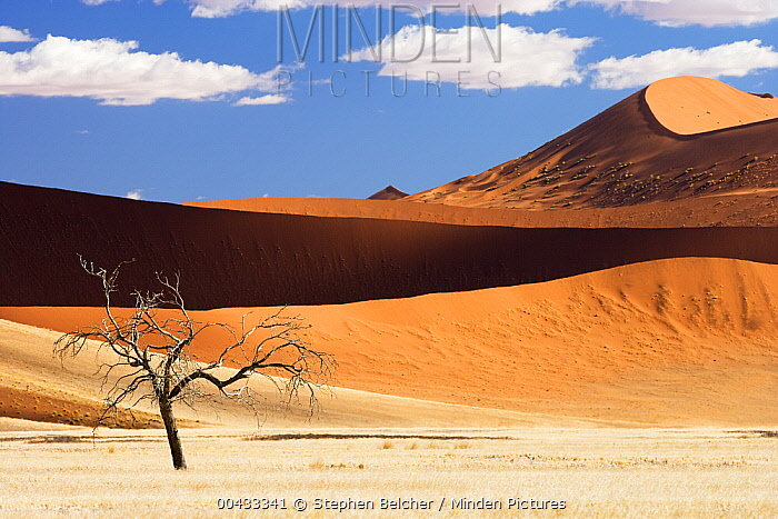 Camelthorn Acacia (Acacia erioloba) dead tree with dunes in background, Namib-Naukluft National Park, Namibia  -  Stephen Belcher
