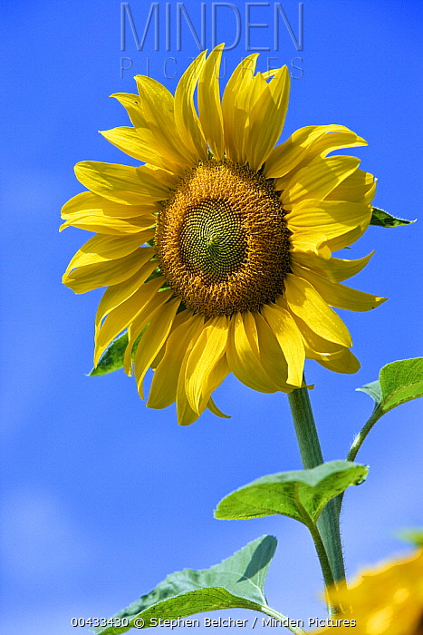 Common Sunflower (Helianthus annuus), Germany  -  Stephen Belcher