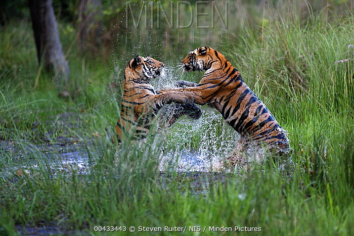 Bengal Tiger (Panthera tigris tigris) pair playing in water, Bandhavgarh National Park, India  -  Steven Ruiter/ NIS