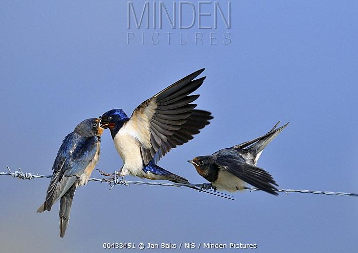 Barn Swallow (Hirundo rustica) feeding chick, Zeeland, Netherlands  -  Jan Baks/ NiS