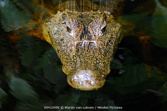 Spectacled Caiman (Caiman crocodilus), Tortuguero National Park, Costa Rica  -  Martin van Lokven