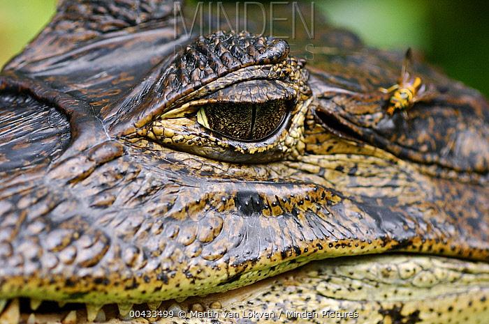 Spectacled Caiman (Caiman crocodilus) eye, Tortuguero National Park, Costa Rica  -  Martin van Lokven
