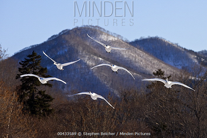 Whooper Swan (Cygnus cygnus) group flying, Lake Kussharo-ko, Hokkaido, Japan  -  Stephen Belcher