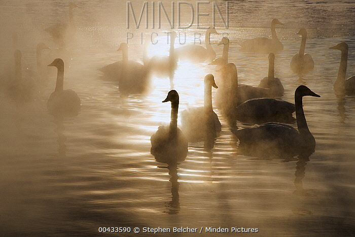 Whooper Swan (Cygnus cygnus) flock swimming on lake with steam, Lake Kussharo-ko, Hokkaido, Japan  -  Stephen Belcher