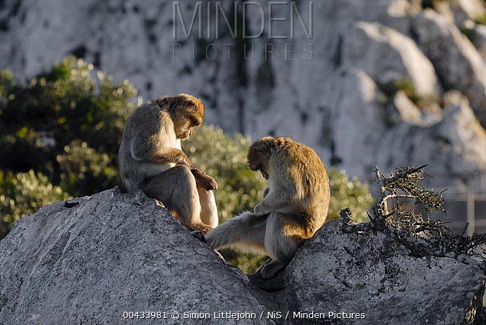 Barbary Macaque (Macaca sylvanus) pair grooming, Rock of Gibraltar, United Kingdom  -  Simon Littlejohn/ NiS